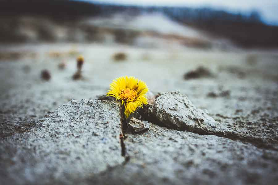 global warming leads to cracked ground with single flower