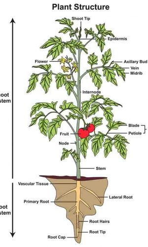 learn about plant anatomy in primary school science